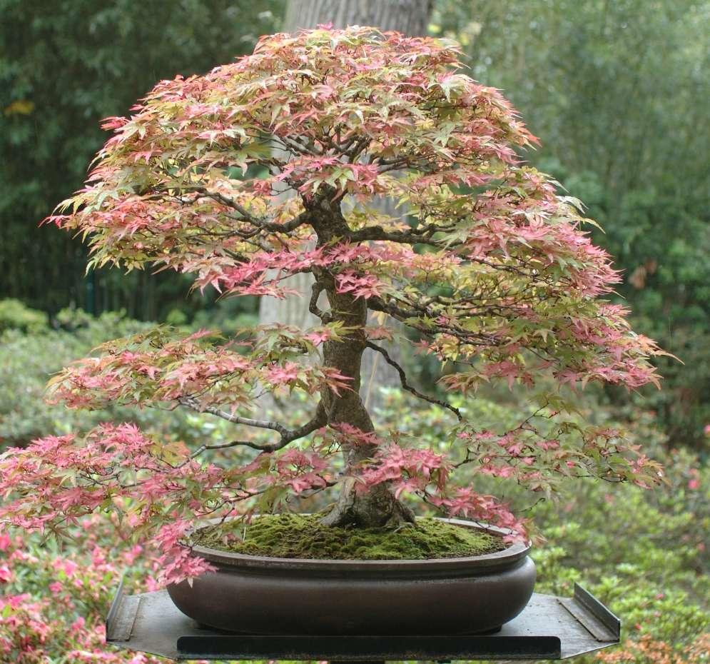 Styles esth tique et formation des bonsa le forum des bonsa - Comment s occuper d un bonsai ...